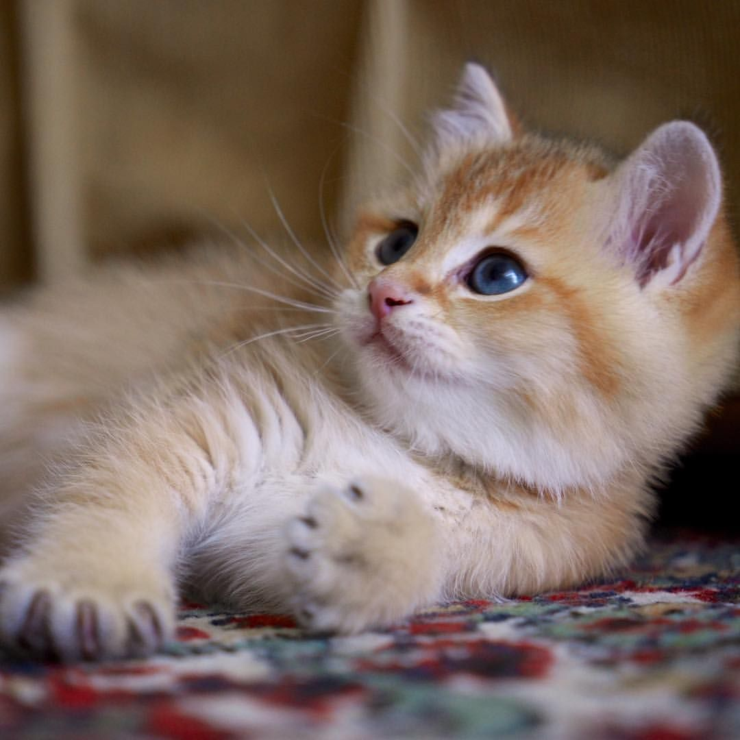 Hosico Cat Hosico Cat Instagram Posts Videos Stories On Webstaqram Com This Is My First Instagram Pic Web Cute Cats And Dogs Kittens Cutest Cats