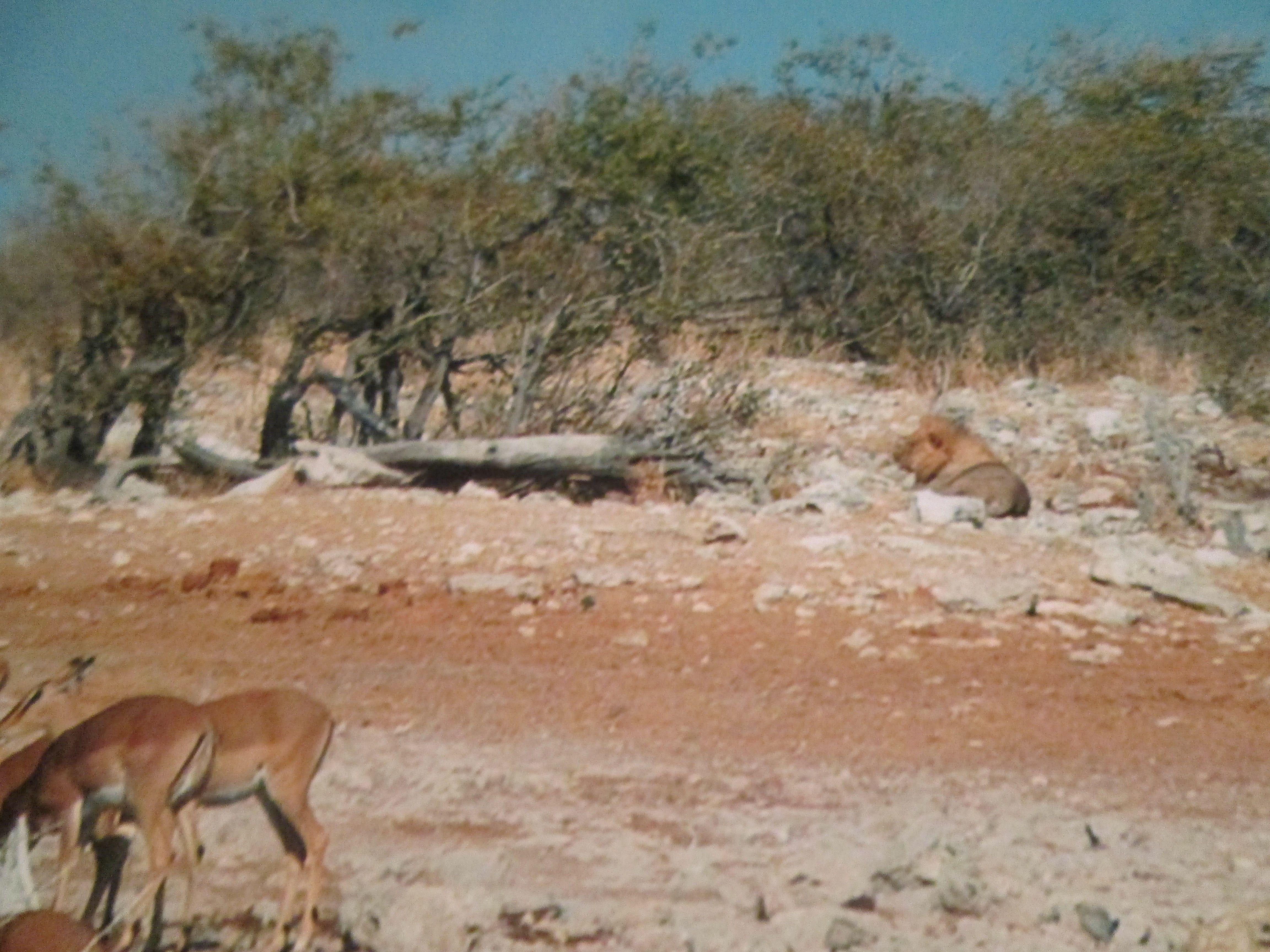 Löwe im Etoscha Nationalpark 2004