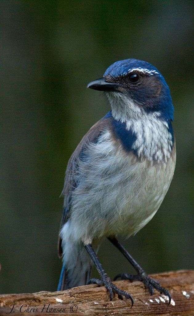 A Western Scrub Jay Checking Me Out Quot What Was That