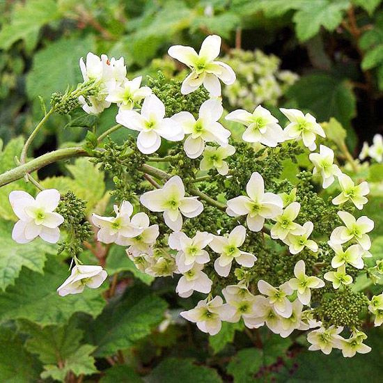 19 Of The Earliest Blooms To Look For In Spring Oakleaf Hydrangea Spring Flowers Early Spring Flowers