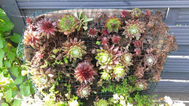 Horizontaler Garten garten horizontal ein stuhl wird bepflanzt hauswurz garten