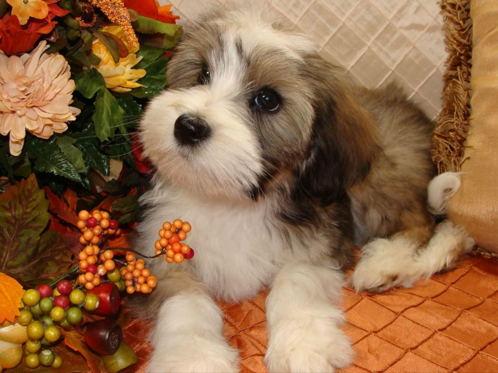 Lori Toth Domani In Lorton Va On American Kennel Club Marketplace Havanese Puppies For Sale Tibetan Terrier Havanese Puppies