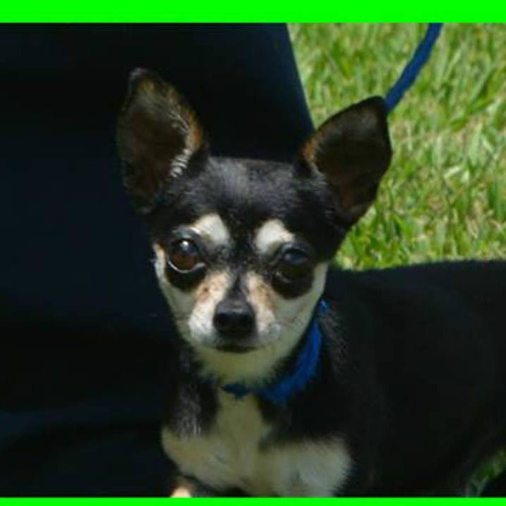 Chloe Is A 1 2 Year Old Tiny Female Chihuahua Looking For Her Forever Home We Do Not Recommend Small Children Due To Her Size S Dog Adoption Chihuahua Dogs