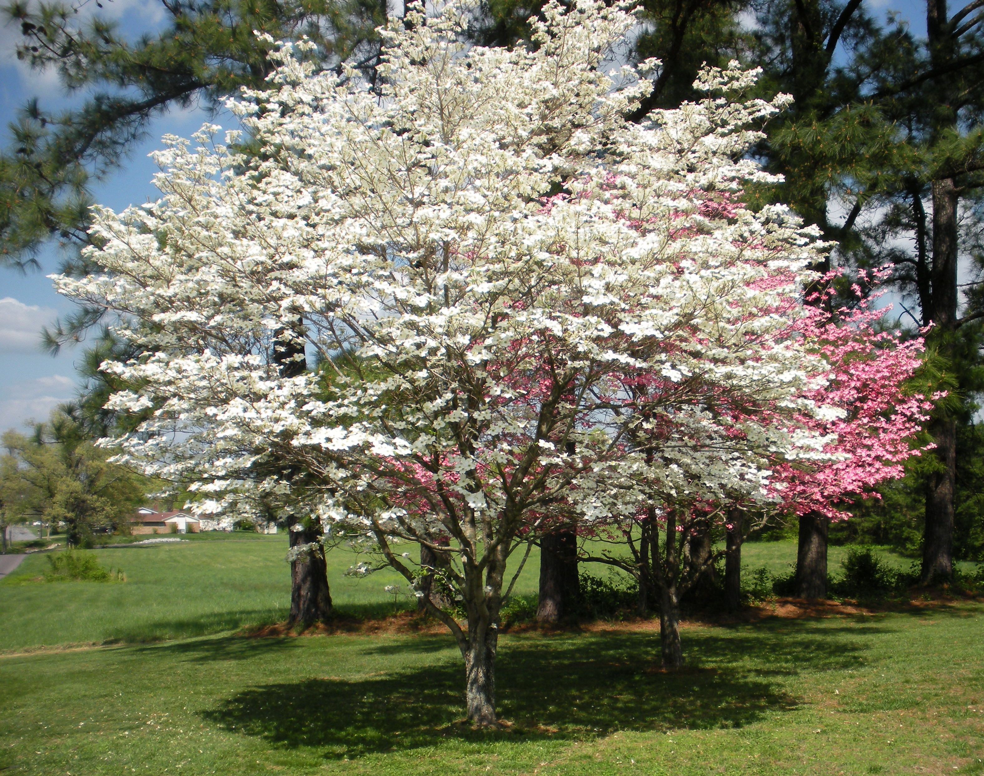 Dogwood Trees In Bloom Trees Are Our Friends Pinterest