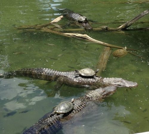 alligator and turtles. two of the most ancient creatures alive today.
