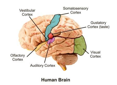 You\'ll Be Surprised to Know the Functions of the Olfactory Cortex ...