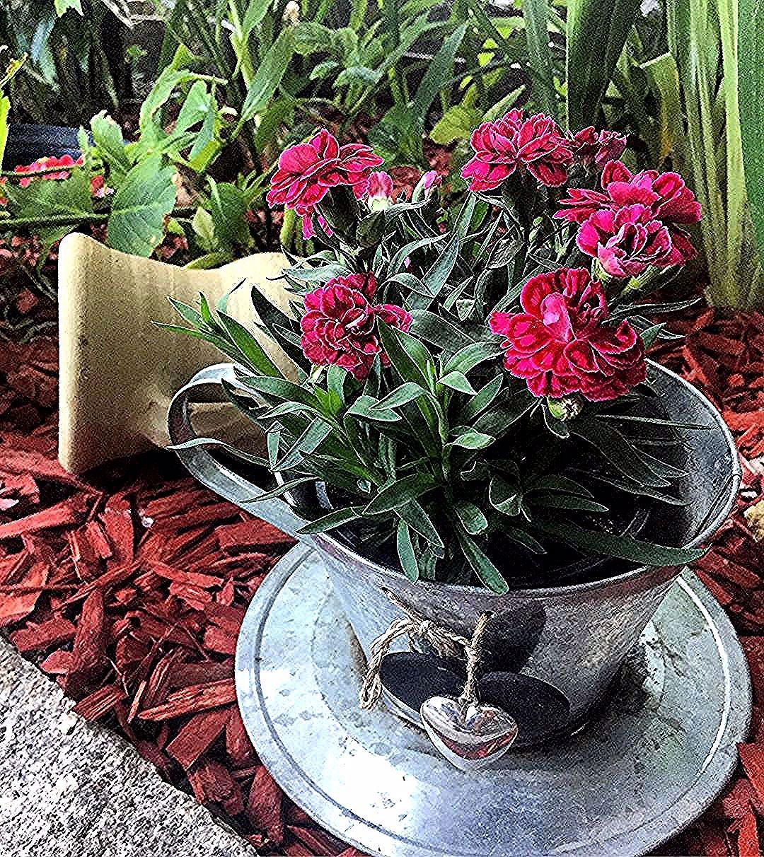 Nelke Nelken Nelken Karanfil Karanfilcicegi Karanfiller Pembekaranfil Garten Gartendeko Gartenbau Gartenliebe Gartengluck Gartenbau Gartendesi Plants