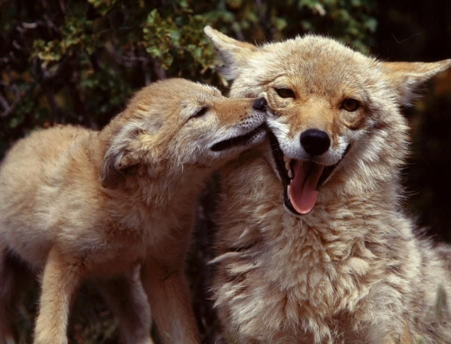 Coyote mom with pup south texas pixdaus cute animals