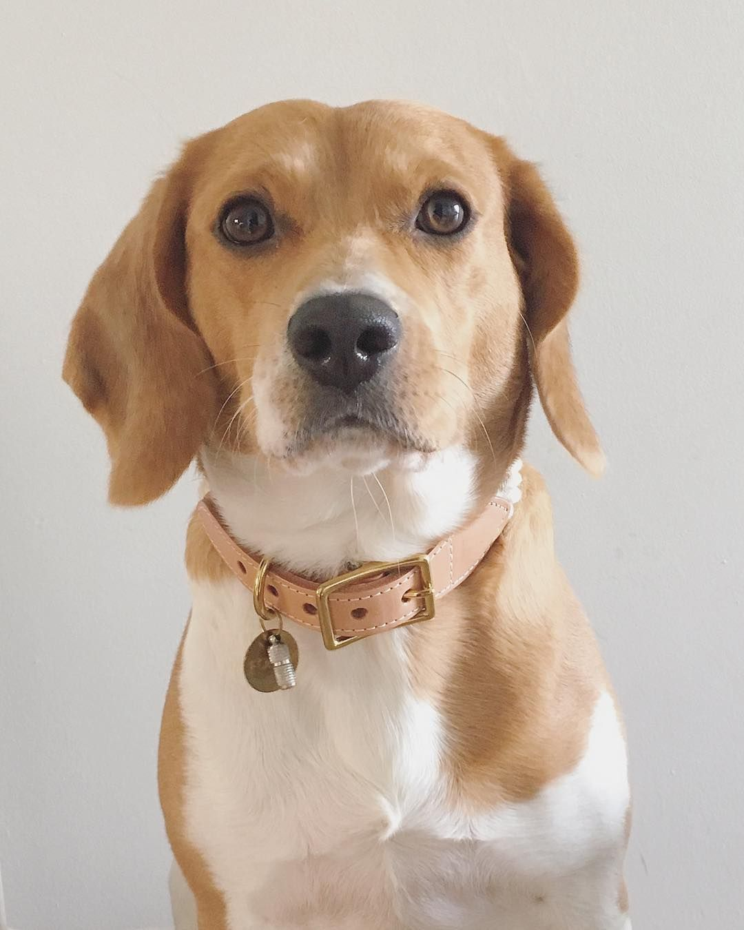 Hello My Friends Today Mom Put My New Collar Beagle Breeds