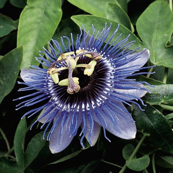 Passion Flower Purple Haze Passiflora Hybrid Passion Flower Passiflora Fragrant Plant