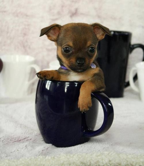 Tiny Chihuaha Cute Dogs Coffee Puppy Cup Tiny Sitting Chihuahua