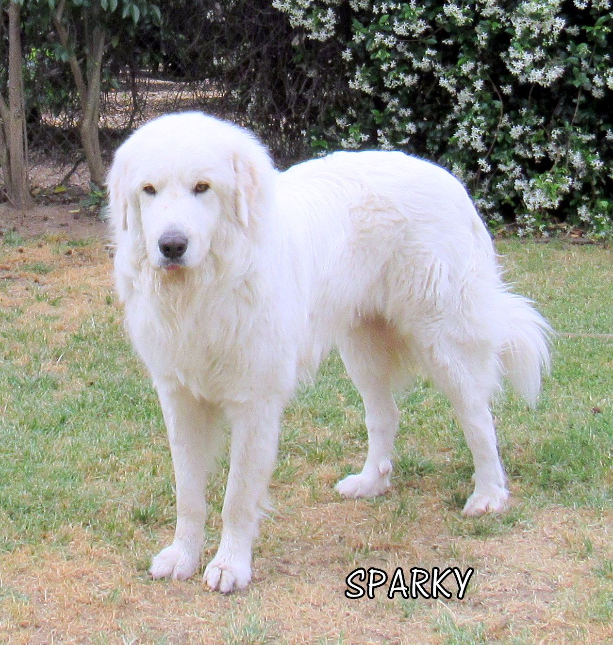 Great Pyrenees Dog For Adoption In Lindsay Ca Adn 583100 On