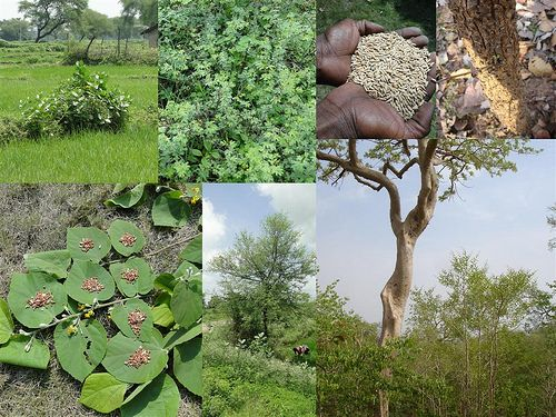 Medicinal Rice Formulations for Diabetes Complications and Heart Diseases (TH Group-57 special) from Pankaj Oudhia's Medicinal Plant Database