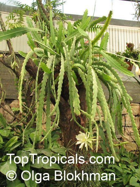 Epiphyllum Sp Orchid Cactus Leaf Cactus Orchid Cactus Cactus Flowers