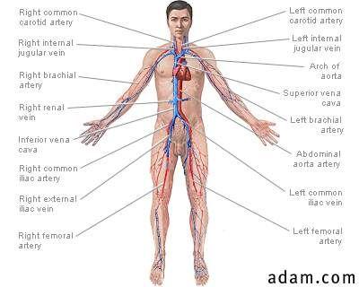 Cardiovascular system | Nursing | Pinterest | Lymphatic system ...