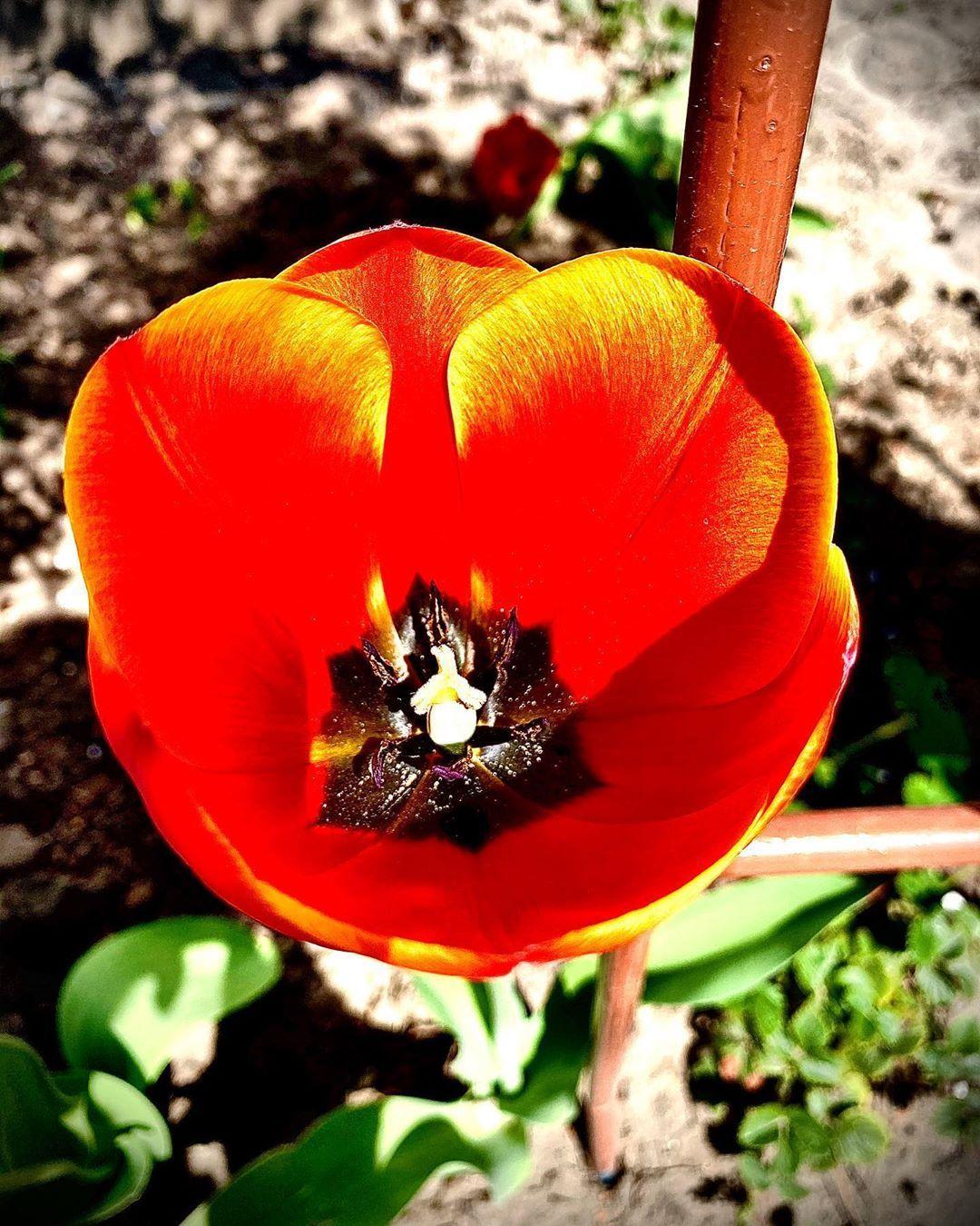 #tulips #тюльпаны #photo #picture #kiev #nature #фото #природа #небо #ночь #солнце #ярко #лето #kiev #украина #ukraine #киевднеминочью #dj #style #color #life #photographer #house #deep #music #рассвет #закат #киев #люблюфотографировать #iphone11 #nightlife