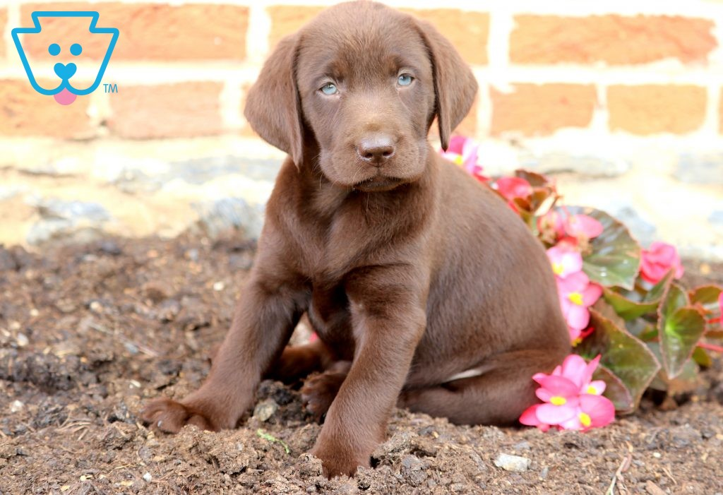 Jody Labrador Retriever Labrador Retriever