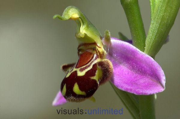 Bee Orchid (Ophrys apifera), Réserve Monkton Chalkpit Nature, Kent, Angleterre