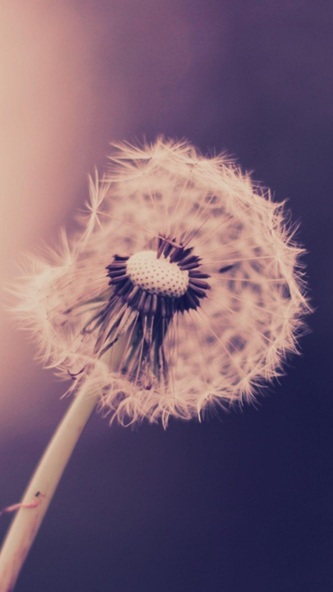 Drops On Dandelion Iphone S Wallpaper Enter My Website To Dandelion Wallpaper Dandelion Image