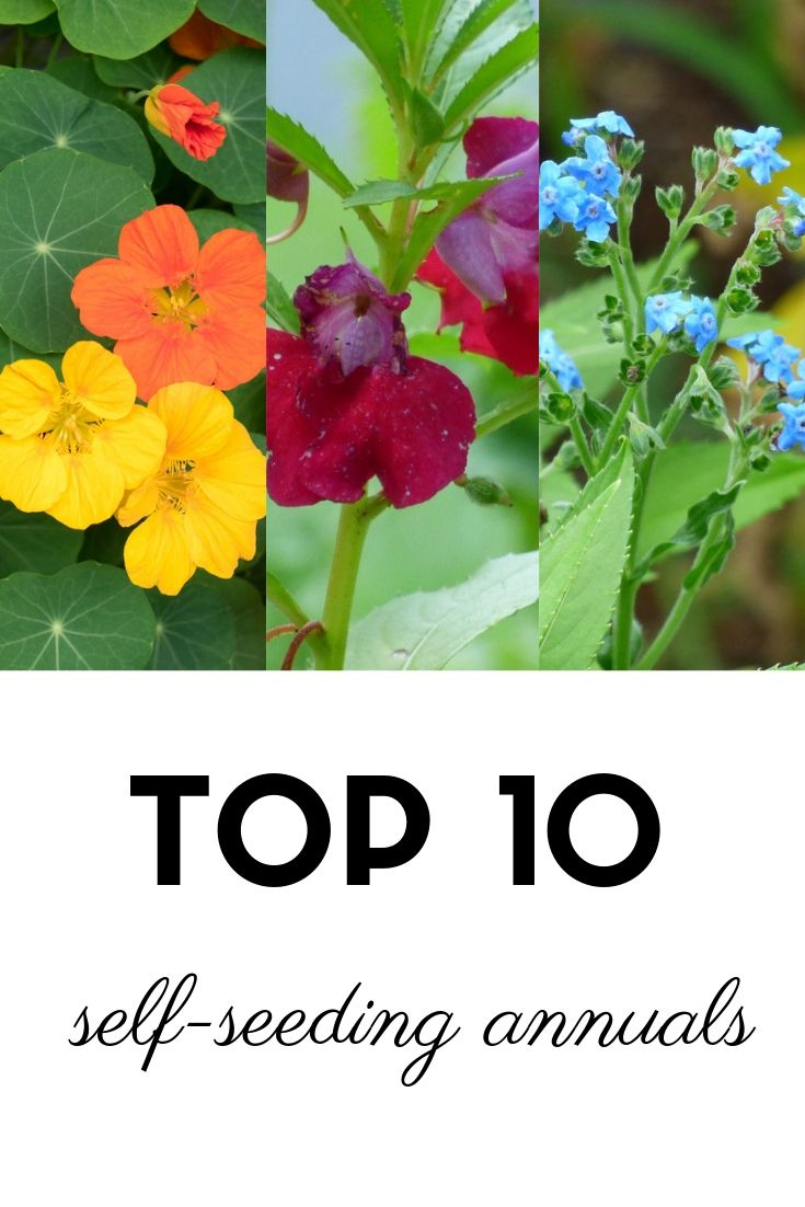"""Top 10 SelfSeeding """"Annuals"""" That Come Back Each Year"""
