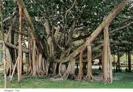 When I lived in Hong Kong there was an amazing Banyan Tree at the top of my street...I love these trees!