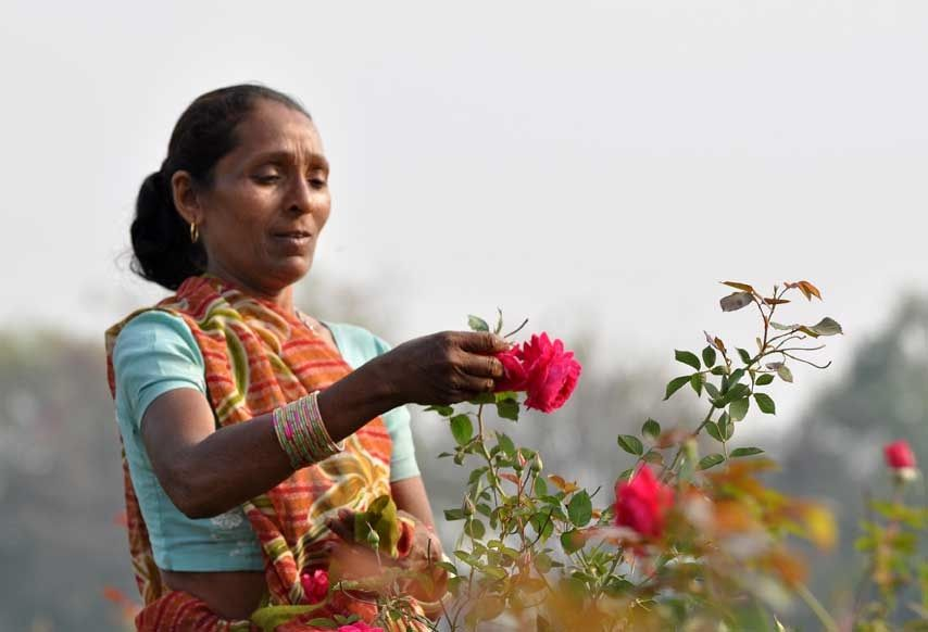 A farmer plucking roses for the ORGANIC INDIA Tulsi Sweet Rose and