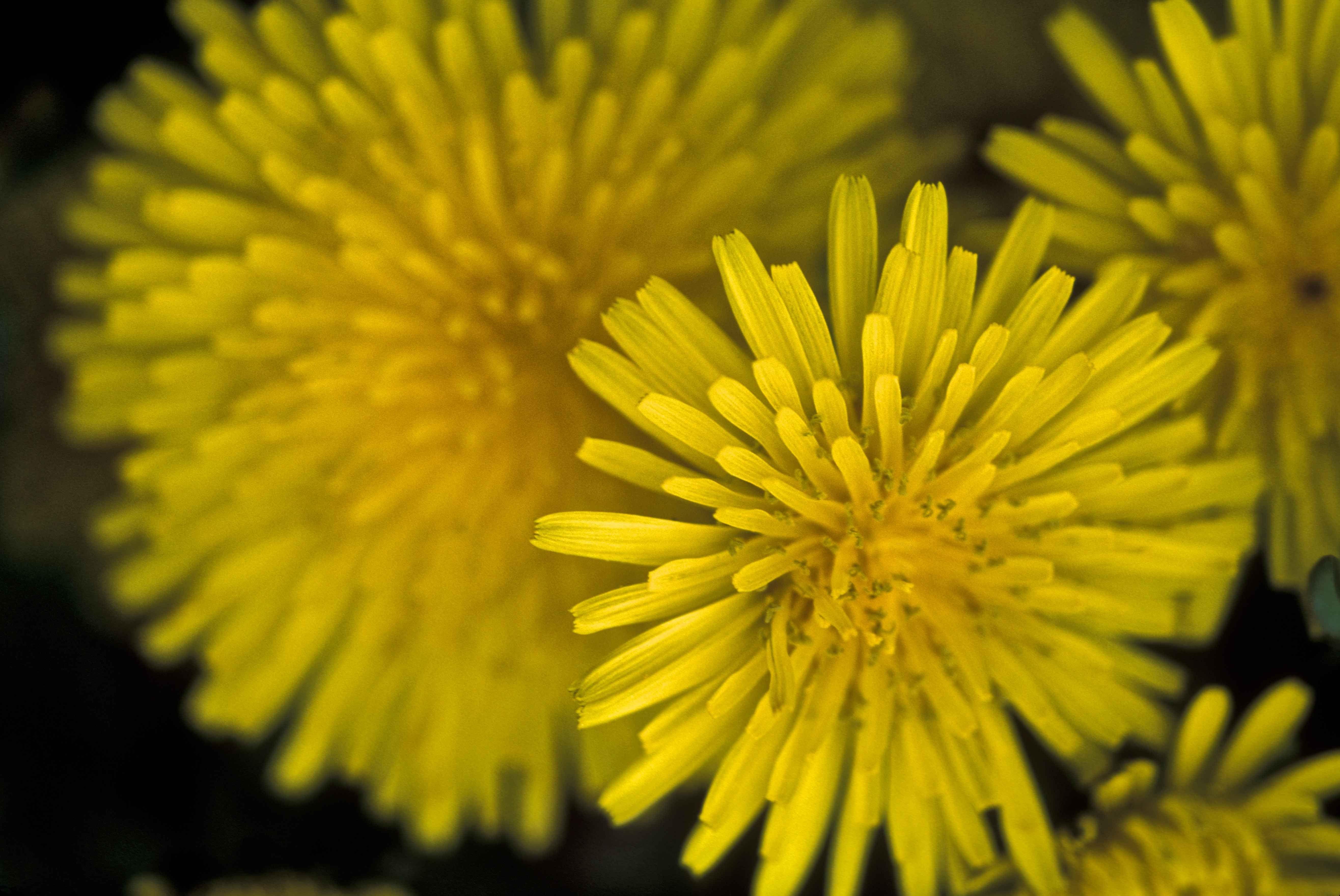 Dandelion_flower_macro_taraxacum_officinale.jpg (5263×3519)
