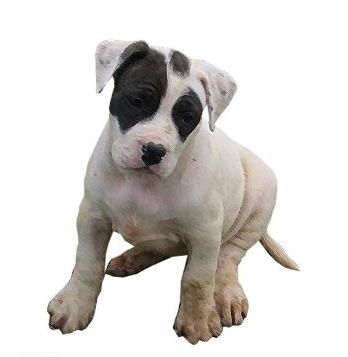 25 Australian Shepherd Mix Cross Breeds You Should Know Petco Near Me In 2020 Petco Aussie Dogs Pets