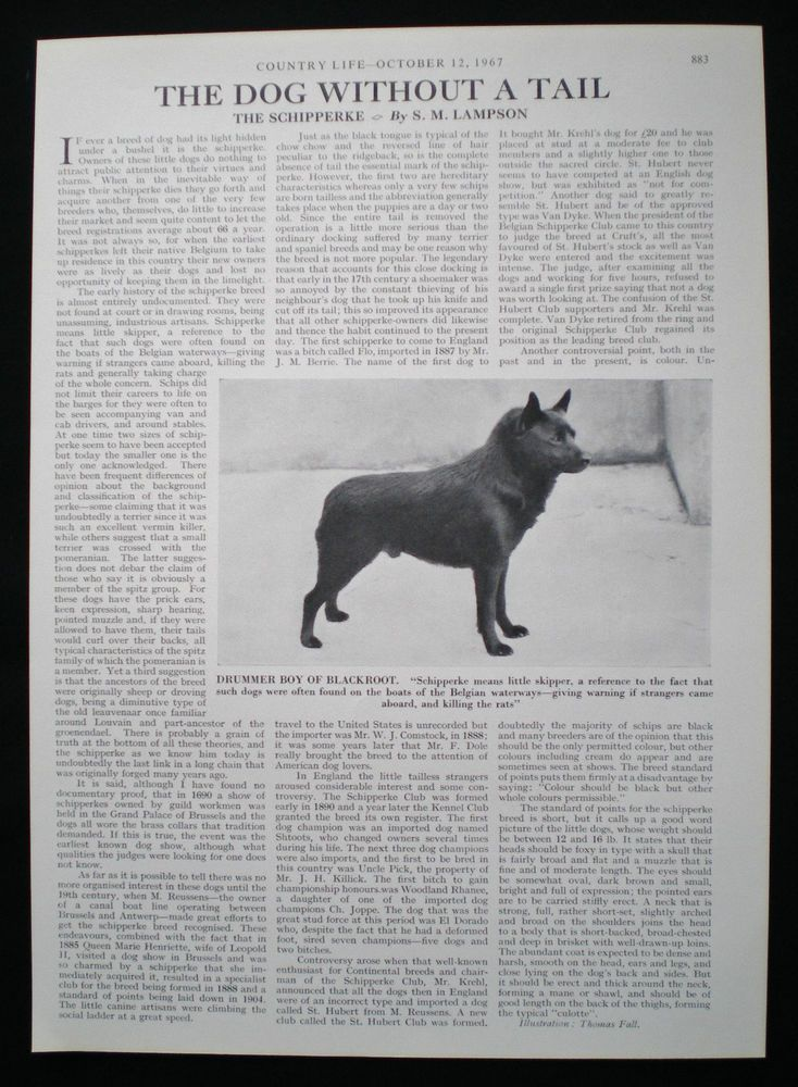 Schipperke Dog Breed Drummer Boy Of Blackroot 1pp Photo Article