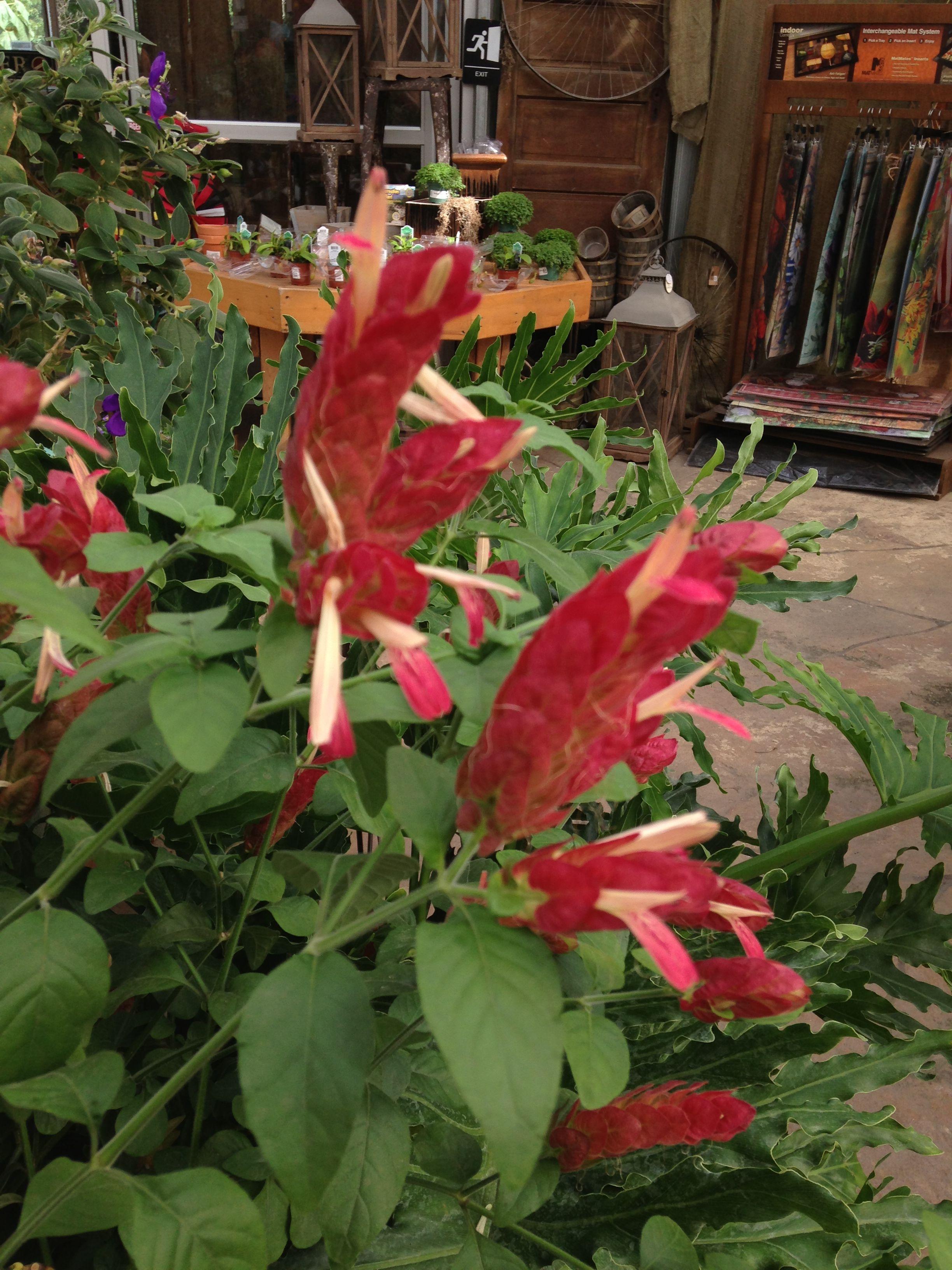 Red Shrimp Plant Plants Front Yard Garden