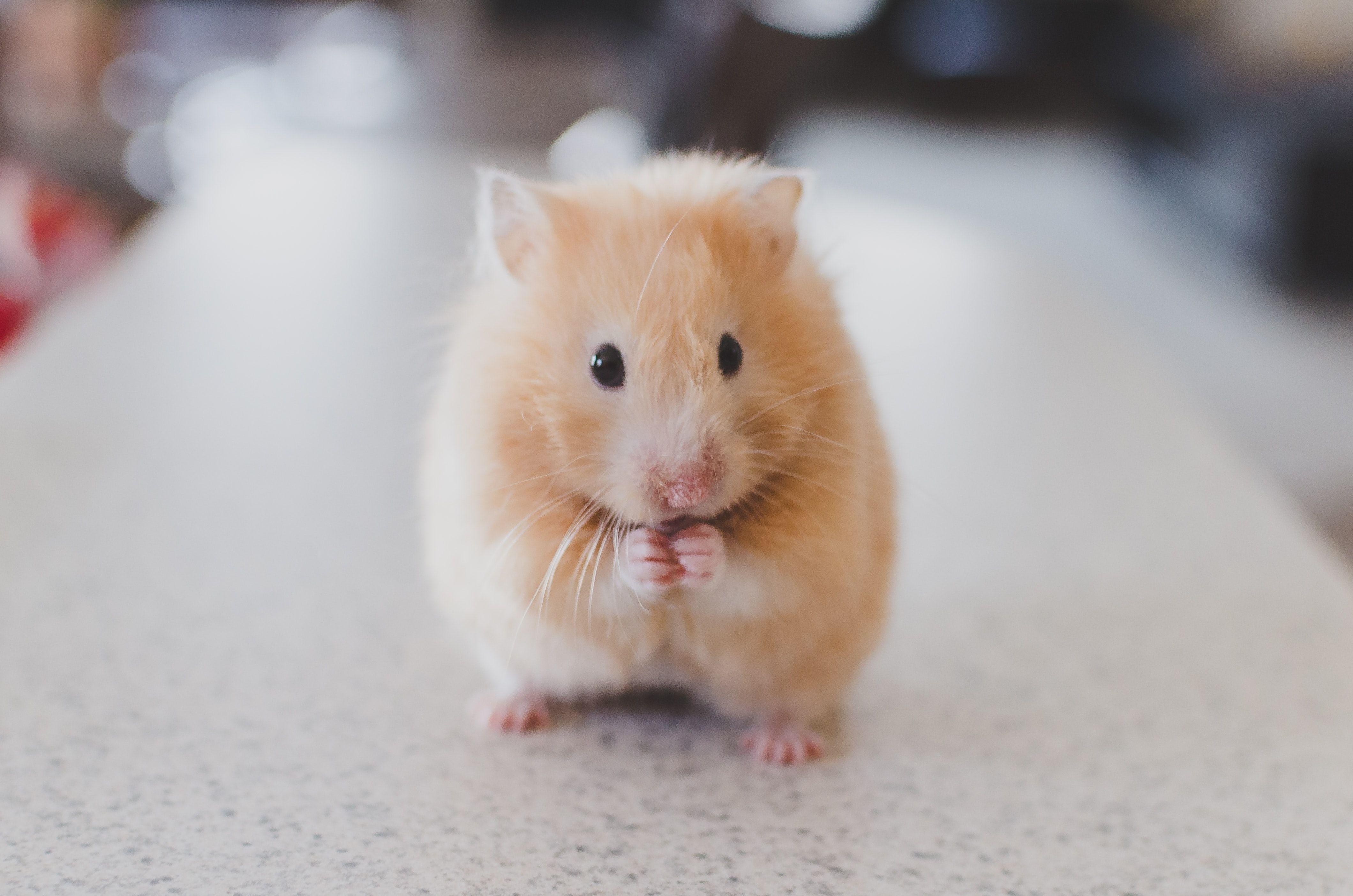 Animal Pet Hamster Selective Focus Photography Selective Focus Photography Of Brown Hamster Cute Hamsters Hamster Cute Animal Videos