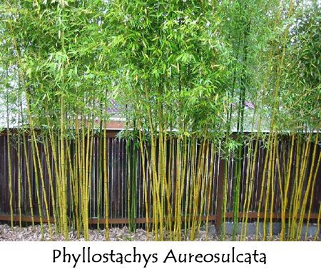 thinking of using bamboo plants as a privacy fence in the
