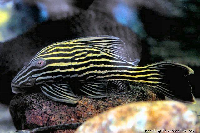 Panaque Cf Armbrusteri Araguaia Aquarium Fish Freshwater Fish Pleco Fish