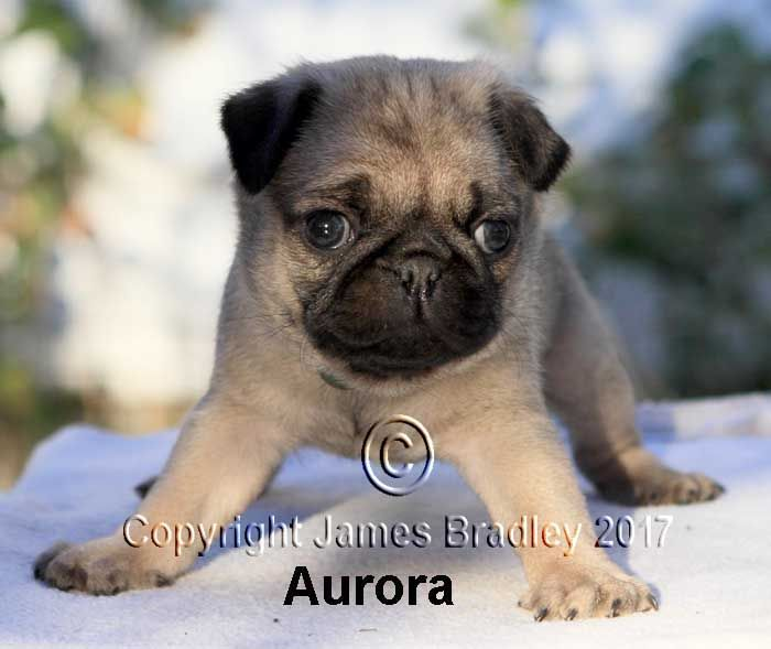 Litter Of 4 Pug Puppies For Sale In Portland Or Adn 46875 On