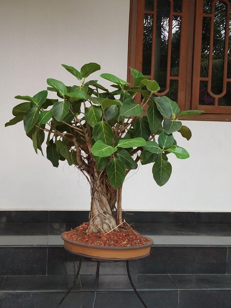 Ficus Benghalensis Bonsai Ficus Bonsai Jade Bonsai