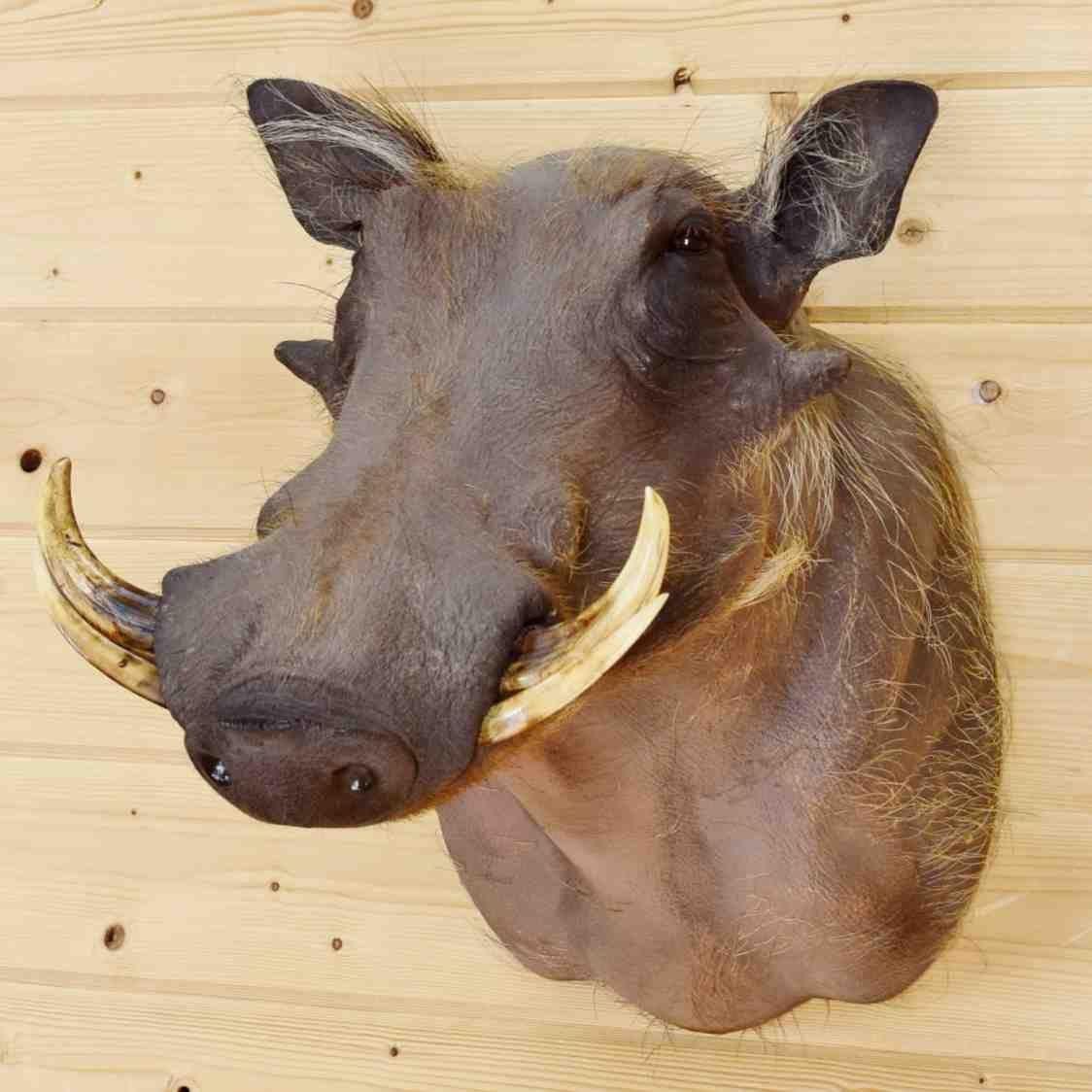 Shoulder Mount Big TusksAfrica Safari DecorHunting Lodge Huge Taxidermy African Wart Hog