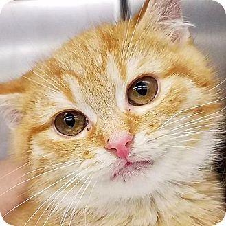 New York Ny Domestic Shorthair Meet Bobby A Kitten For Adoption Http Www Adoptapet Com Pet 17491200 New York New York Kitten