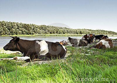 Herd of cows on river bank © Anton Zagorulko