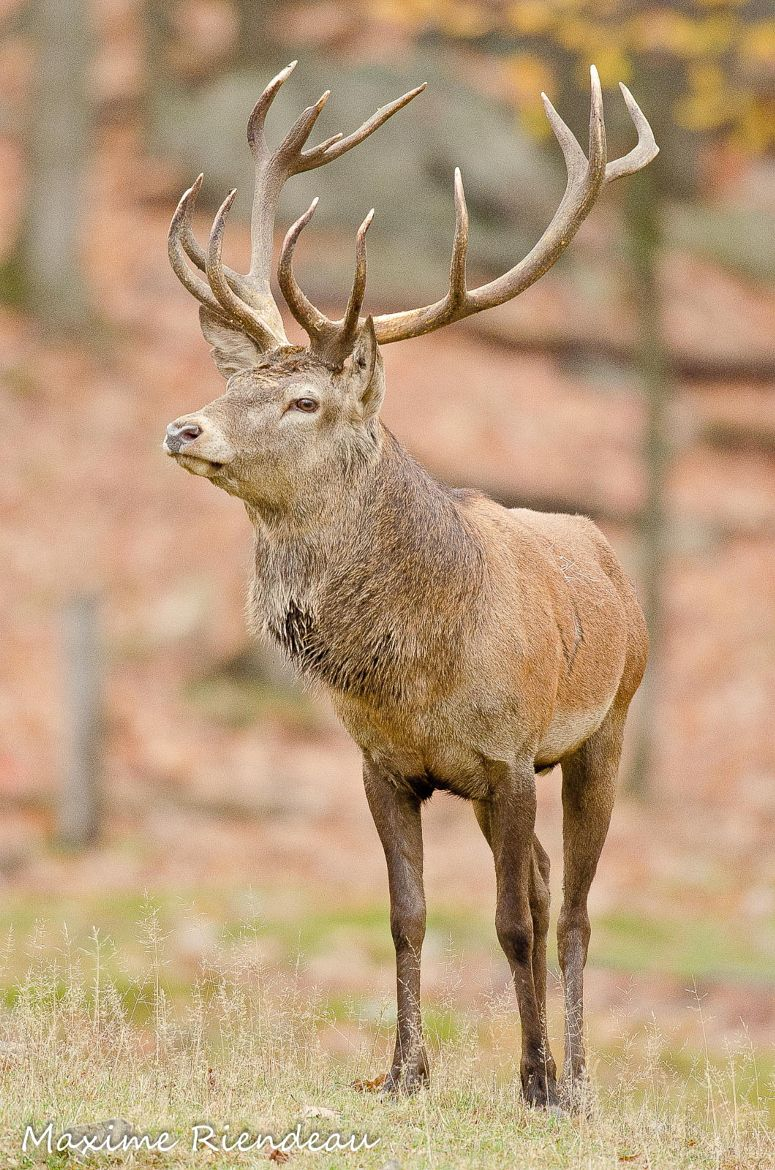Photograph Red deer by Maxime Riendeau on 500px Red deer