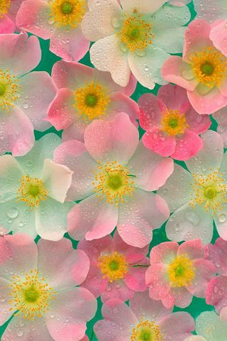 Japanese Anemones iPhone wallpaper | iPod touch Wallpapers | iPhone4 Background | Android Live Wallpapers