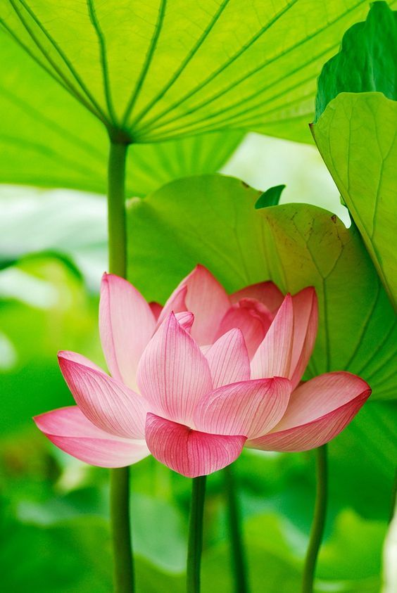 The lotus flower grows in muddy water and rises above the surface to the lotus flower grows in muddy water and rises above the surface to bloom with remarkable beauty at night the flower closes and sinks underwater mightylinksfo