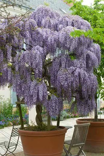 wisteria in a pot gardening pinterest jardins plantes et glycine. Black Bedroom Furniture Sets. Home Design Ideas