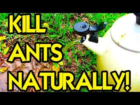 How To Get Rid Of Ants On Runner Beans
