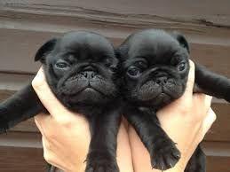 Related Image Luv Pug Baby Pugs Black Pug Puppies Pugs