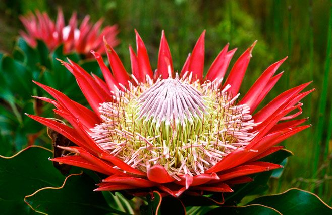 The Gaint Protea Or Mostly Known As King Protea Is The National Flower Of South Africa In 2020 Protea Flower Protea King Protea