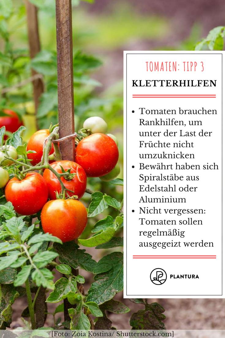 10 Tipps Zur Perfekten Tomate Aus Dem Eigenen Garten Tomaten Tipp 3 Kletterhilfen Da Die Tomaten Mit Ausnahme Der B Tomaten Garten Tomaten Pflanzen Tomaten