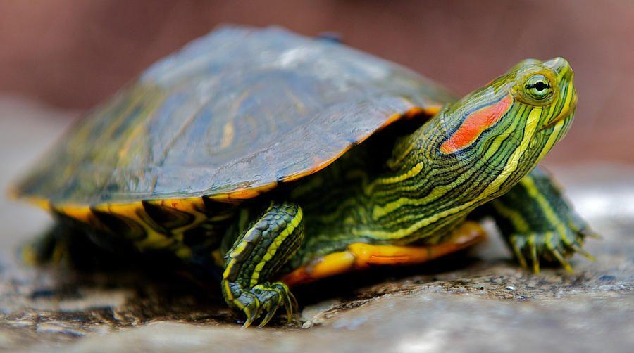 Red Eared Slider Turtle Facts Habitat Diet Pet Care Pictures Red Eared Slider Turtle Turtles For Sale Types Of Turtles