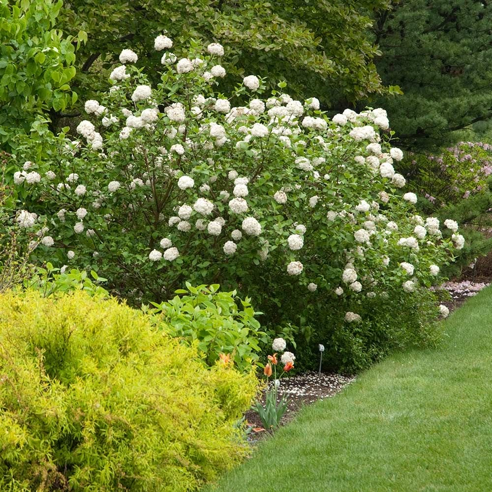 Viburnum Carlesii White Flower Farm In 2020 Flower Landscape Garden Vines White Flower Farm