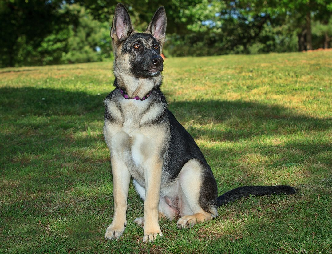 5 Month Old German Shepherd Pup Azar Sits Nice While Getting His