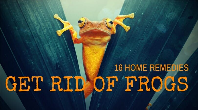 16 Effective Home Remedies to Get Rid of Frogs (With ...